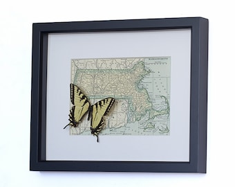 Tiger Swallowtail Framed Butterfly Display - Vintage Map of Massachusetts