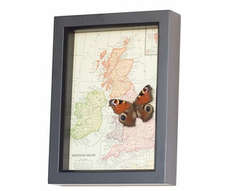 Vintage Framed Map of Great Britain with native real framed butterfly