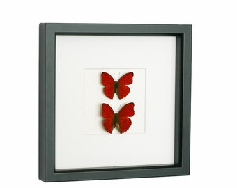 Real Framed Butterflies Display Two Hearts As One Shadowbox