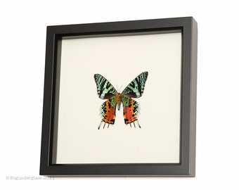 Real Framed Moth Madagascan 1330