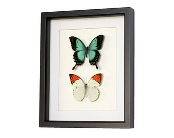 Real Framed Butterflies Sea Green and Orange Tip Butterfly