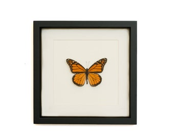 Preserved Monarch butterfly in museum mat display