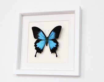 Real Framed Butterfly Blue Mountain Swallowtail in White Shadowbox