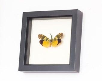 Framed Insect Lanternfly Fulgora viridirostris