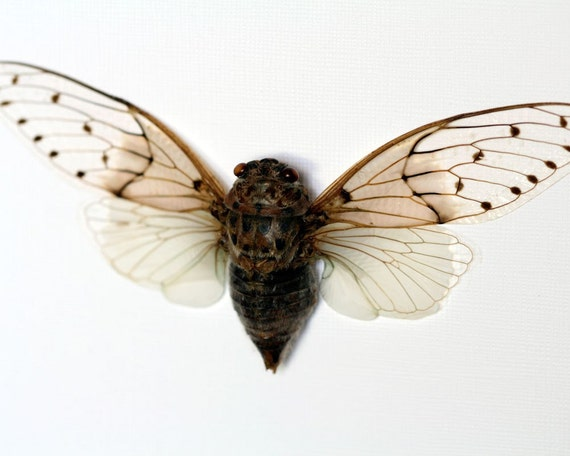 Cicada Museum Display - Real Insect Display
