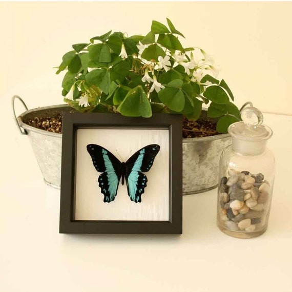 African Swallowtail Framed Butterfly Display