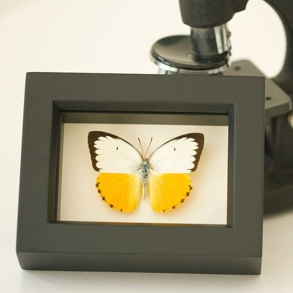 Yellow Migrant Sea Monster Real Framed Butterfly Display