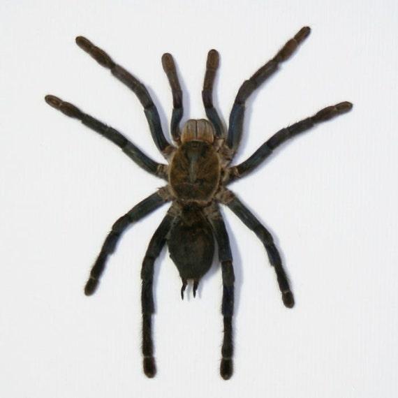Framed Tarantula Spider Halloween Decoration
