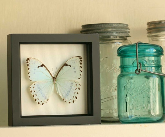 Mint Morpho Butterfly Real Framed Insect Display