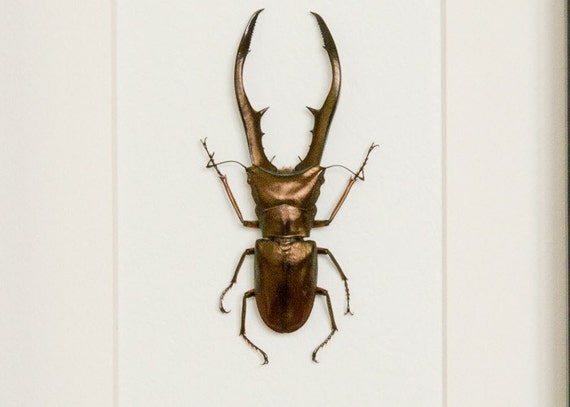 Framed Stag Beetle Archival Mat Insect Display