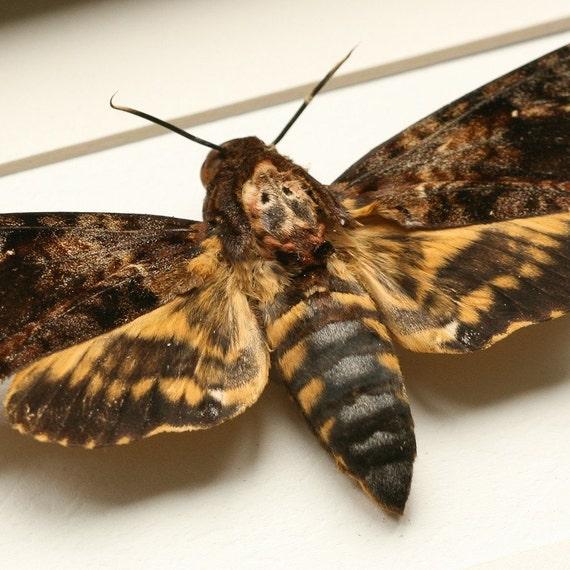 Real Death Head Moth Display Acherontia lachesis