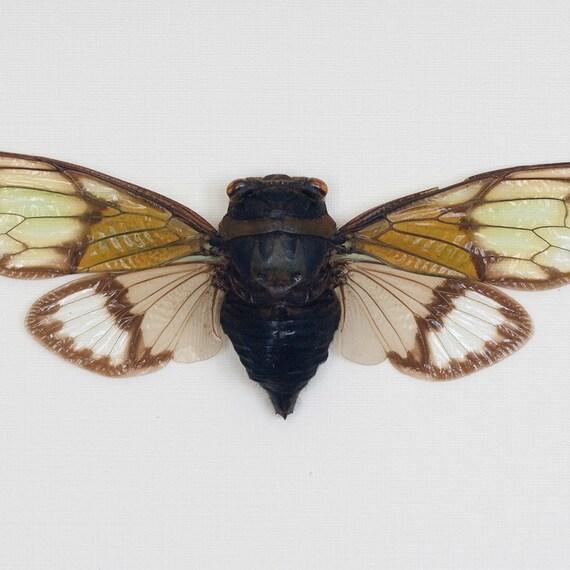 Natural History Display Green Winged Cicada