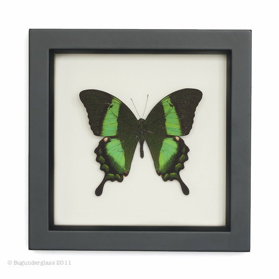 Butterfly Shadowbox Emerald Swallowtail Framed Butterfly