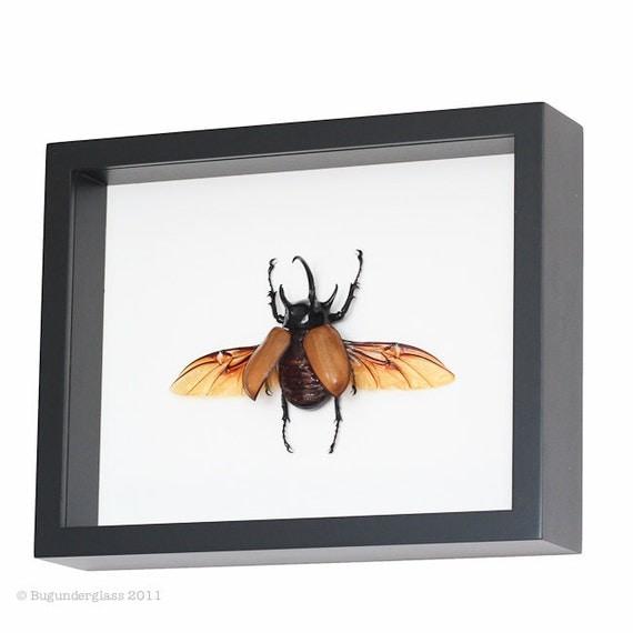 Framed Beetle Rhinoceros Beetle Insect Display