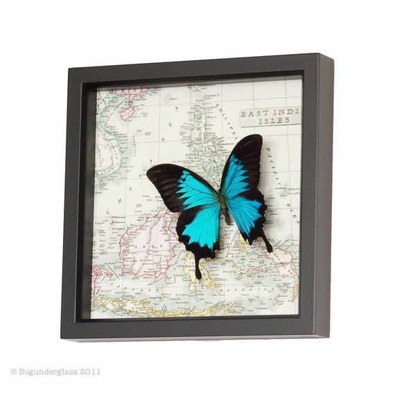 Blue Mountain Papilio ulysses Real Insect Map Display