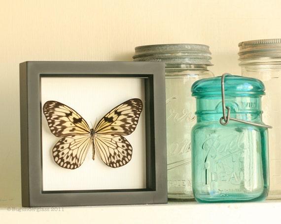 Real Framed Butterfly Idea leuconoe