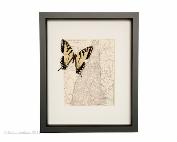 Map of New Hampsire VINTAGE with native Tiger Swallowtail framed butterfly