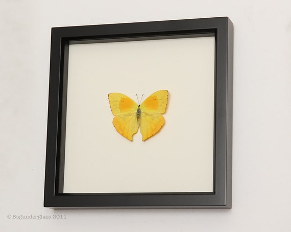 Yellow Real Butterfly Taxidermy Display