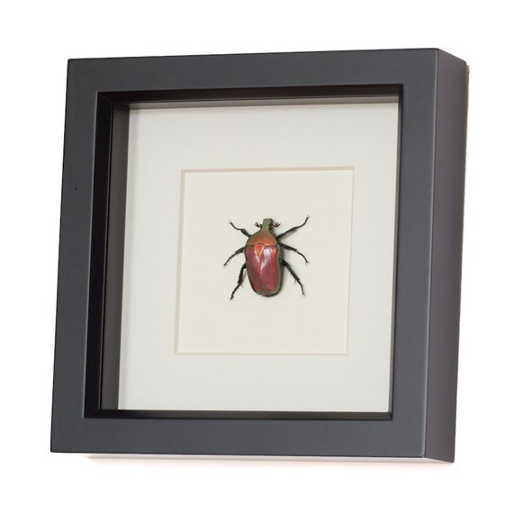 Real Framed Beetle Fruit Chafer