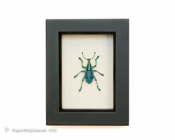 Weevil Beetle Framed Insect Display