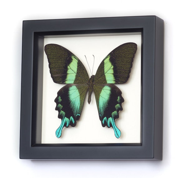 Framed Butterfly Peacock Swallowtail Real Insect Display