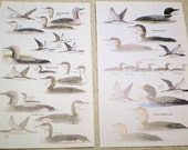 Water Fowl Shore Birds Prints Scientific Illustrations Pair Vintage Book Plates Hunting Ducks Loons for Altered Mixed Media, Home Decor 2
