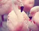 Fine Art Bird Photography - Flamingo zoo animal nature wall decor nursery Pastel Pink Feathers white cream Florida feather light portrait