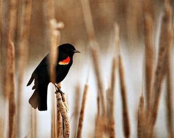 50% OFF Nature Photography Postcard - Bird animal black yellow red blackbird spring summer tan brown dark brown rustic white