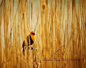 50% OFF, In The Reeds - Nature Animal Photography - yellow headed blackbird in reeds, golden cattails, winter home decor, animal bird