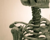 Skeleton Specimen, Harvard Museum of Natural History - 7 X 10 fine-art photographic print