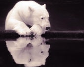 Lonely Polar Bear - 8 X 8 fine-art photographic print