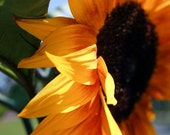 Giant Sunflower in Balboa Park - San Diego Nature Photography - Garden Inspired Home Decor - Gift for Her - 11X14 Fine Art Photograph