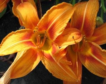 2 Orange Day Lilies