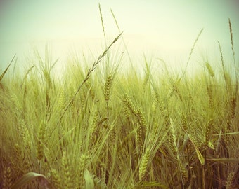 8x10 photo - Barley Photo - Field of Gold - 8x10 Original Signed Fine Art Photograph - Country