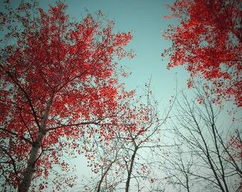Tree Photo - Tree Photograph - Red Birch Photograph - 12x12 Original Signed Fine Art Photograph - Birch Photo