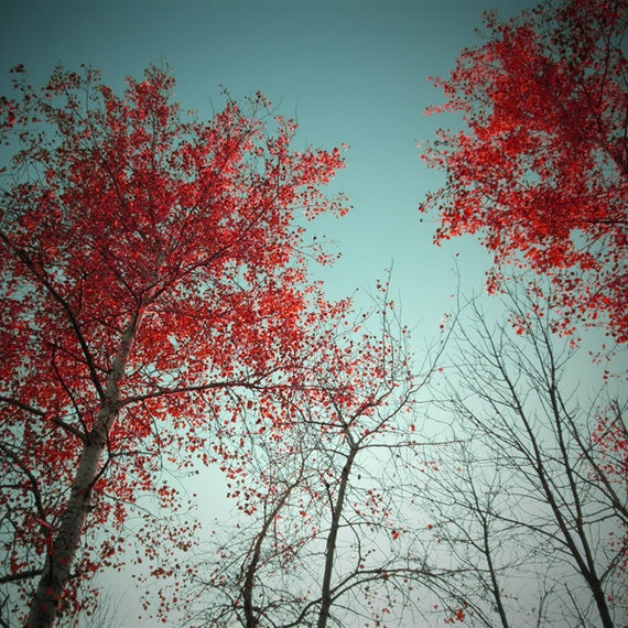 Birch Tree Photo - Tree Photograph - Red Birch Photograph - 12x12 Original Signed Fine Art Photograph - Ready to Ship