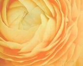 yellow ranunculus botanical photography / soft, butter, flower, petals, summer, nature photography / buttery no. 4 / 8x10 fine art photo