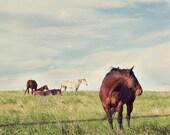 horse farm animal photograph / rural, rustic, stallion, mare, nature, field / camera shy / 8x10 fine art photo
