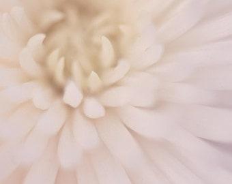 white macro flower botanical photography / mum, chrysanthemum, close-up, detail, blush, cream / white spider mum no. 1