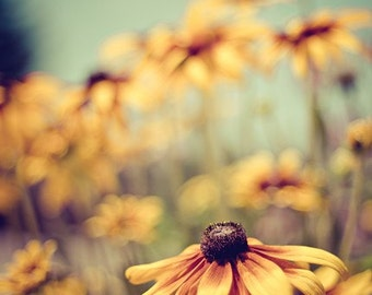 summer flower nature photography / mustard yellow, black-eyed susan, rudbeckia, robins egg blue, rust / sunshine / 8x10 fine art photo
