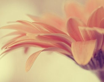 daisy flower photography / botanical, peach, coral, yellow, honey, feminine, pastel / dainty / 8x12 fine art photo