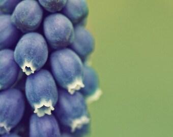 grape hyacinth spring botanical photography / green, blue, purple, macro, flower, nature / grape hyacinth / 5x5 fine art photo