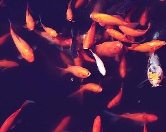 goldfish photography / fish, goldfish, koi, black, orange, swim, water, pond / feed me / 8x8 fine art photo