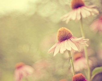 coneflower nature photography / summer, bloom, green, pink, purple, bokeh, light / coneflowers / 5x7 fine art photograph