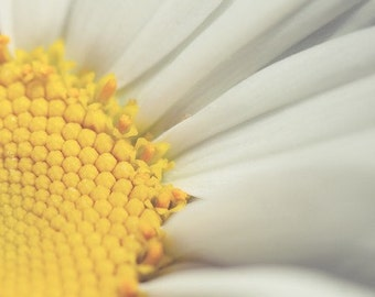 daisy nature photography / flower, macro, yellow, white, sunny, botanical / sunny side up / 8x10 fine art photograph