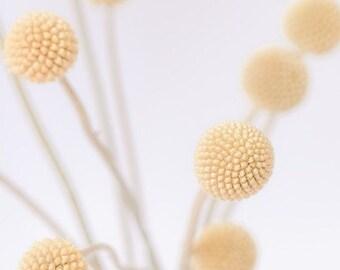 minimalist botanical photography / billy buttons, craspedia, woolyheads, mustard yellow, still life / billy buttons no. 4