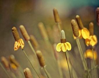 summer flower photography / wildflowers, nature photography, autumn, fall, prairie coneflower, yellow, gold, green, blue / canary /