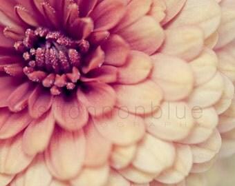 pink flower nature photograph / macro, layers, mum, chyrsanthemum / coral, berry, rose, salmon, blush, peach / layered / 8x10