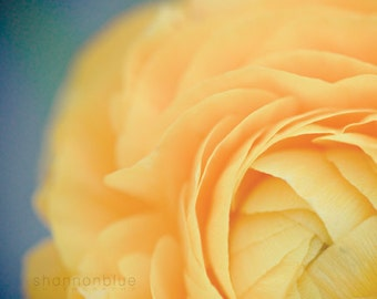 ranunculus photography, yellow, soft, butter, botanical photography, flower photography, robins egg blue, summer, nature / buttery no. 1