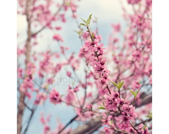 spring pink blossom nature photography / bloom, flower, cherry tree, green leaves  / blooming / 8x10 fine art photo